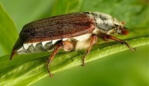 Майский жук для ловли язя