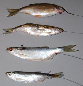 Как цеплять мертвую рыбку