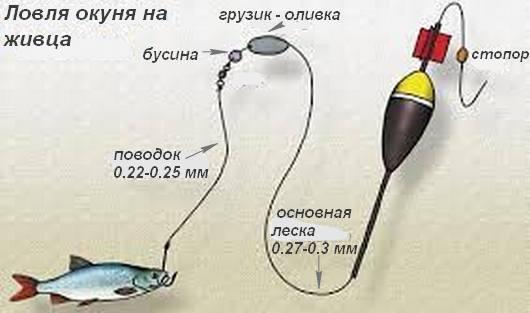 Схема ловли окуня на живца